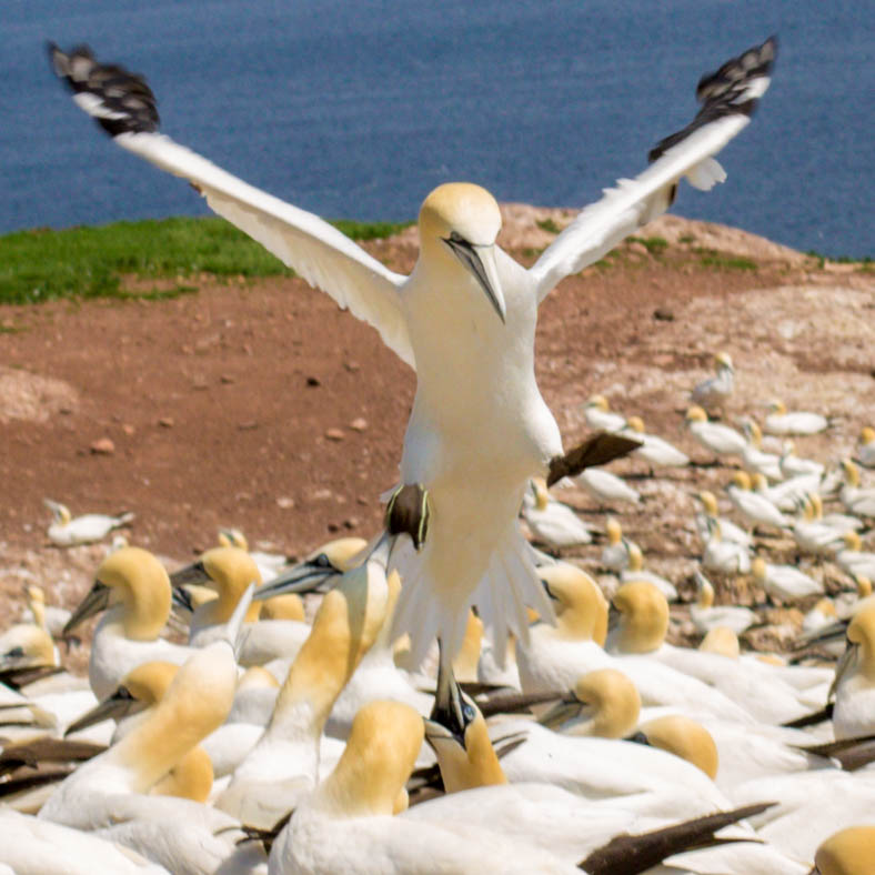 A view from the front of a Northern Gannet is about to take flight from the breeding grounds on Bonaventure Island.