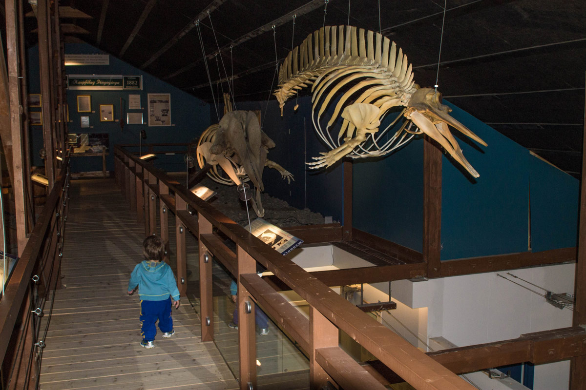 A young boy walks alongside whale skeletons at a museum - An Epic 14 Day Iceland Itinerary