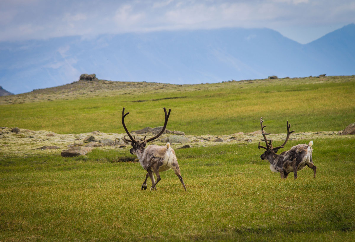 Reindeer running across a field in IcelandAn Epic 14 Day Iceland Itinerary