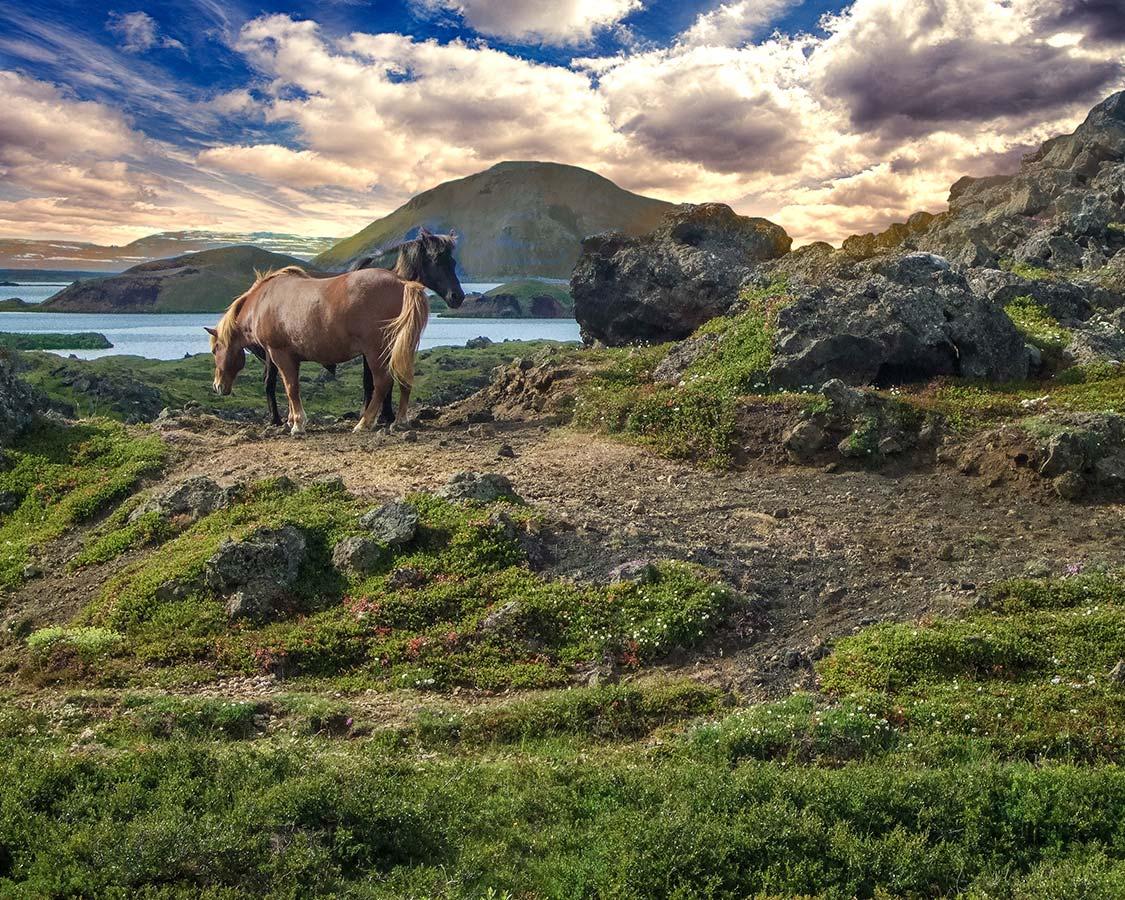 14 day Iceland Itinerary - Iceland Horses near Lake Myvatn