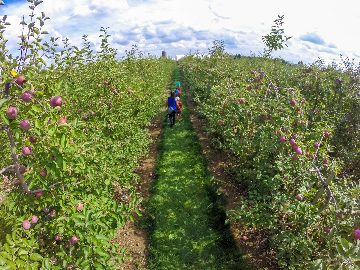 Family walking through an apple orchard getting ready to pick apples, which is one of our favorite fall activities in Ontario.