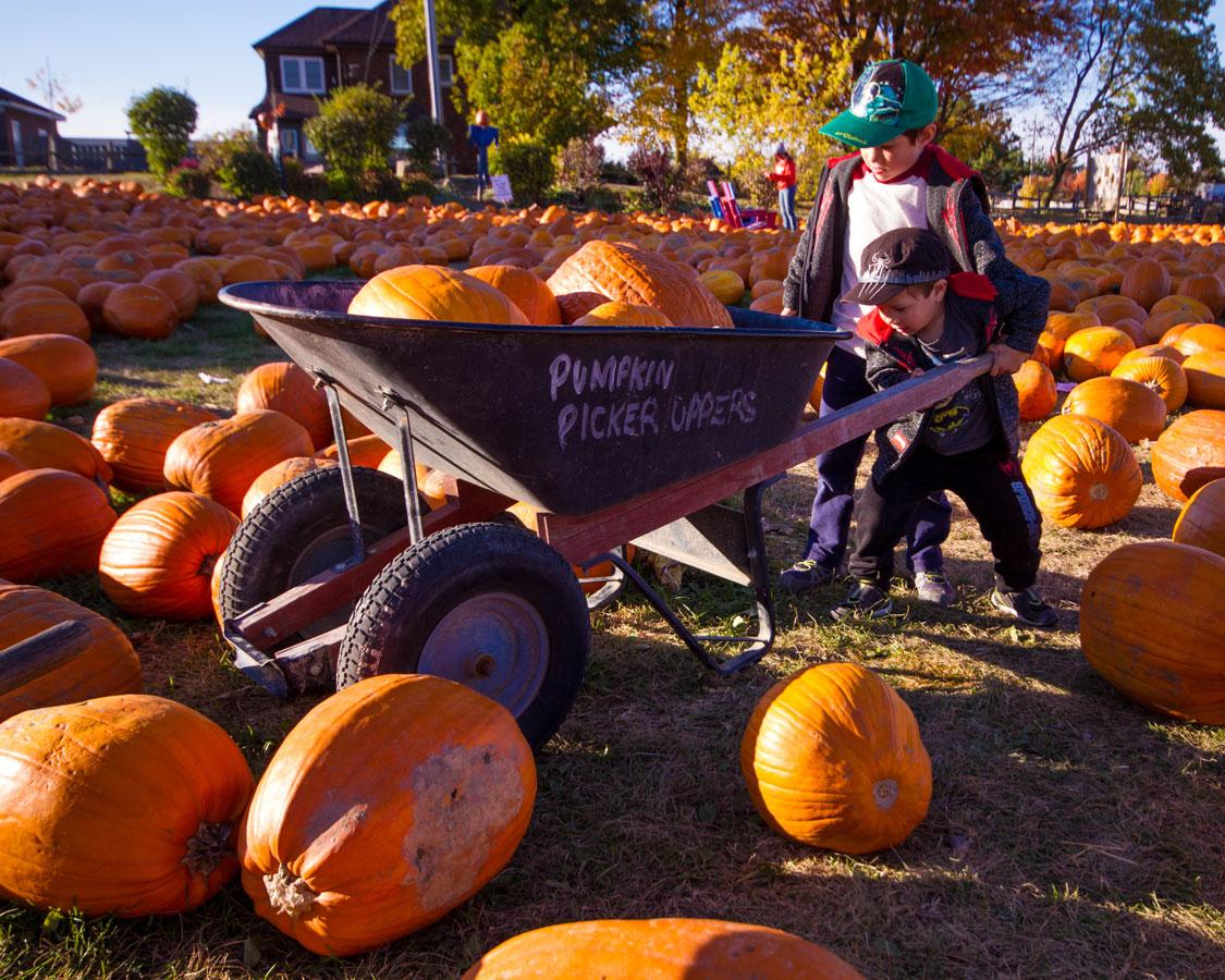 Children push a wheelbarrow filled with pumpkins.