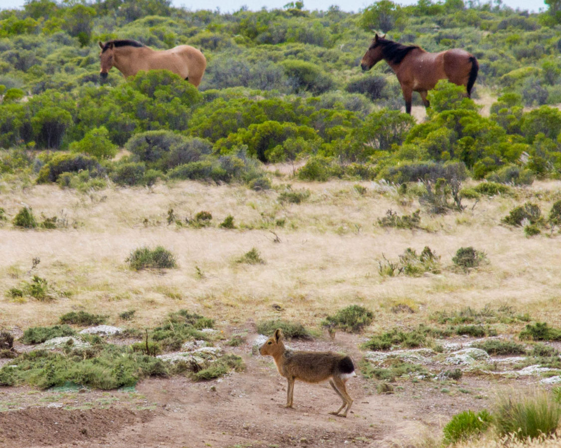 Patagonia hare and some horses roam free in an estancia in Peninsula Valdes.