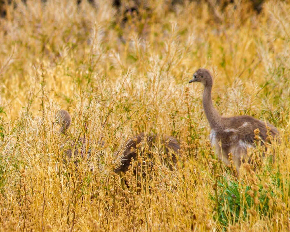 A family of rheas hidden by tall grass in Peninsula Valdes, Argentina.