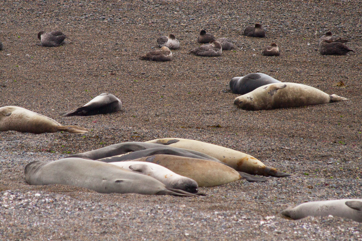 Elephant seals on the beach in Caleta Valdes.