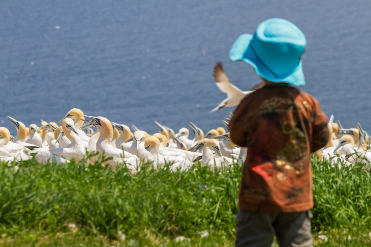 A young boy in a blue hat looks over a crowd of gannet birds on Bonaventure Island in Quebec