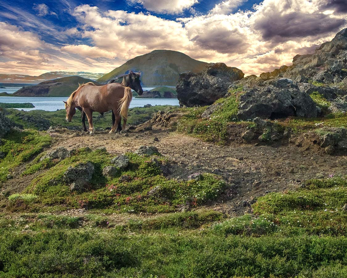 Hiking in Iceland with kids - Icelandic Horses at Lake Myvatn