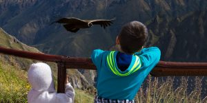 Condors in Colca Canyon Peru