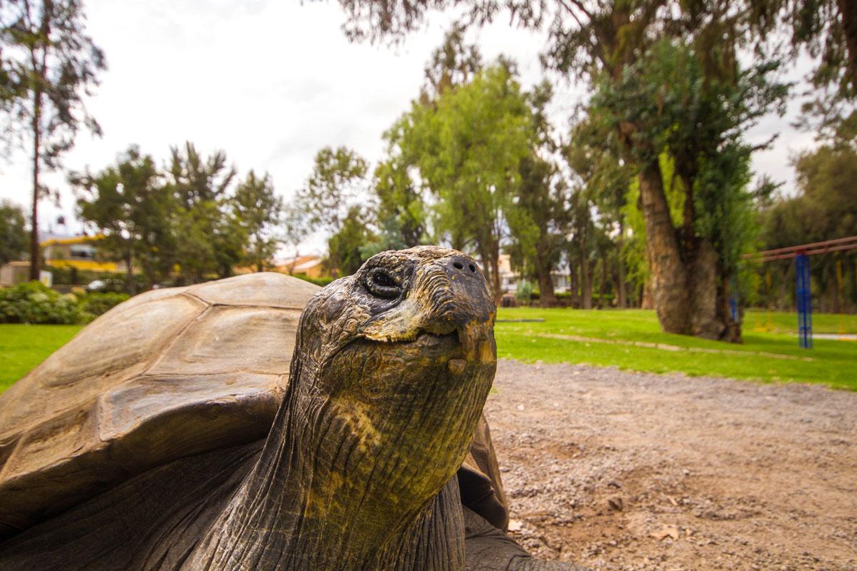 Galapagos Tortoise at Libertador Hotel Arequipa Peru with kids on a 14 day Peru itinerary