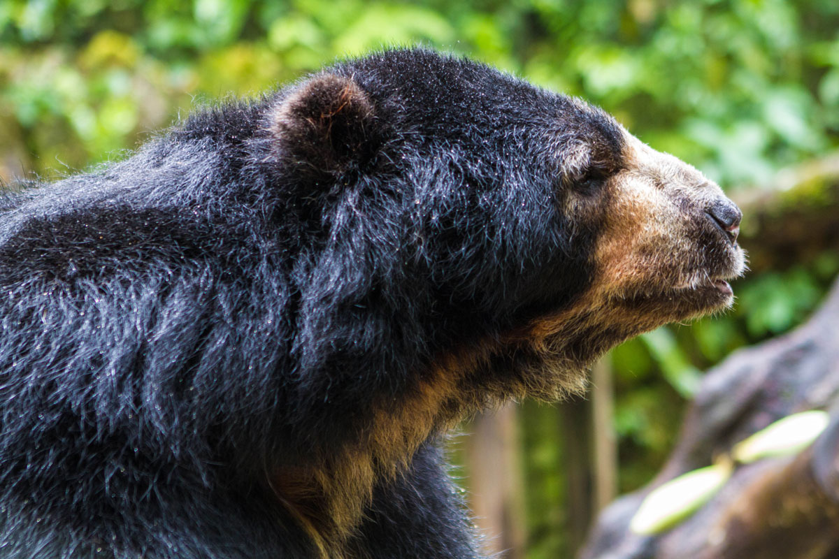 One of the Spectacled Bears at a sanctuary at InkaTerra Hotel in Machu Picchu Pueblo Peru with kids on a 14 day Peru itinerary