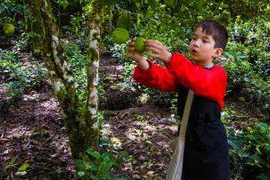 About Us Child traveler C Wagar harvesting limes in Machu Picchu Peru