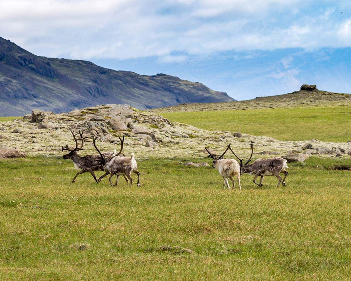 Iceland for Kids Reindeer in Iceland