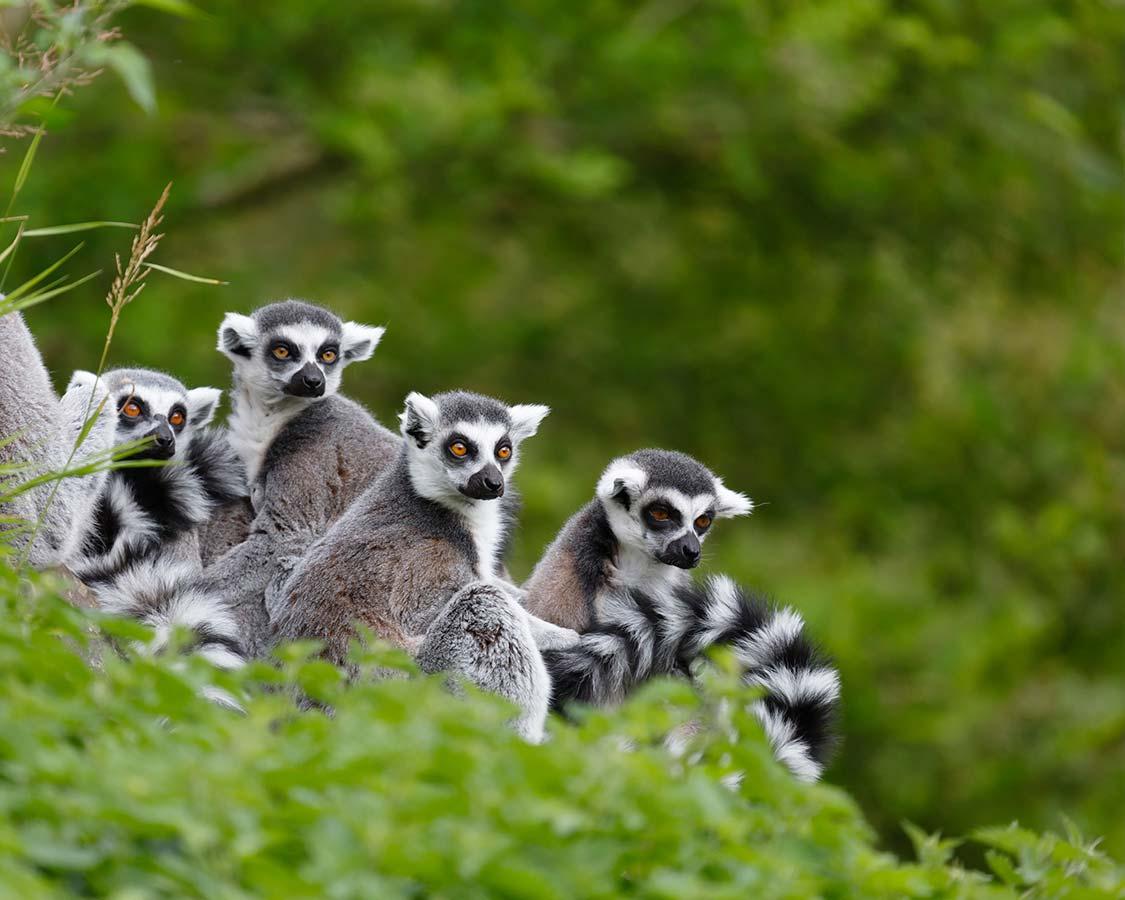 Wildlife-experiences-for-children-Lemurs-in-Madagascar