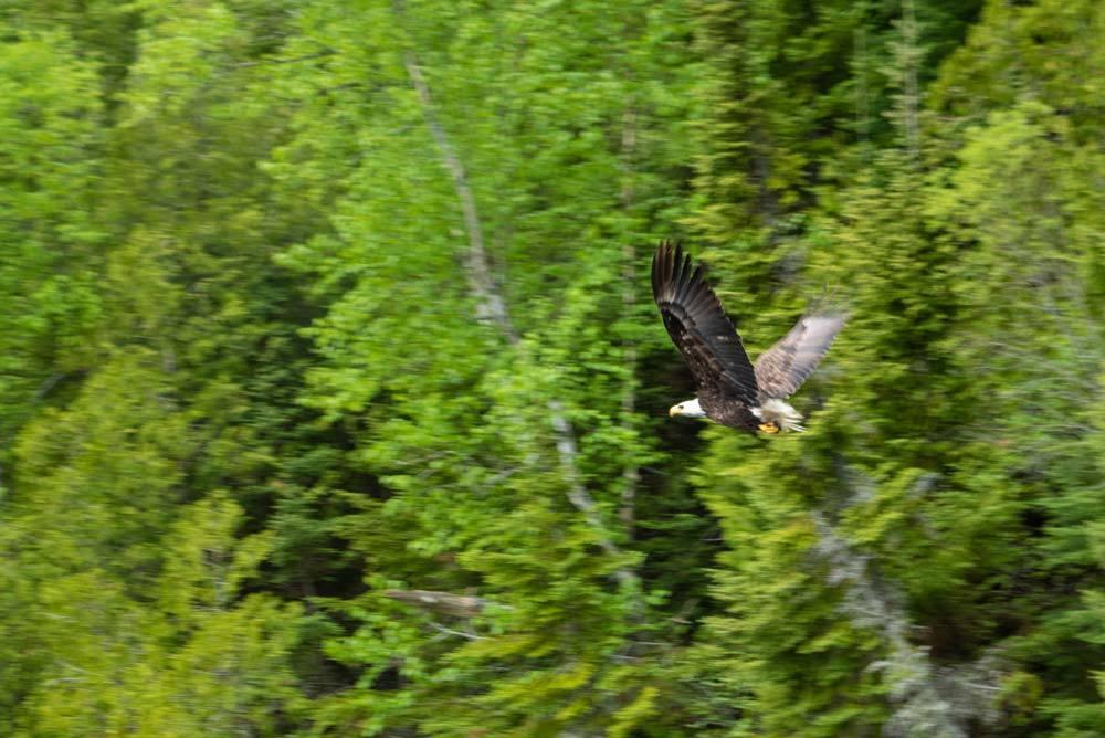 Bald Eagle on a Northern Ontario lake